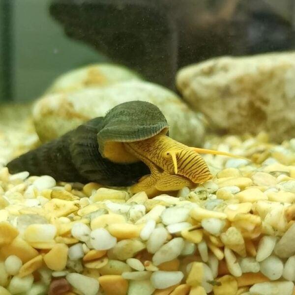 rabbit snails in the aquarium