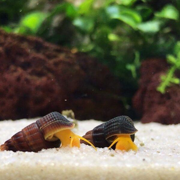 rabbit snail reproduction