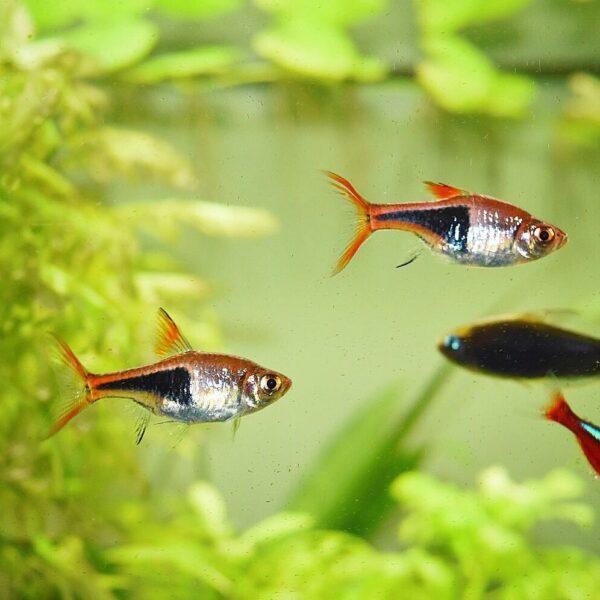 Harlequin Rasbora fishes