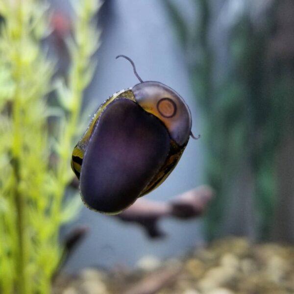 Zebra Nerite Snail in aquarium glass wall