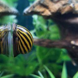 Zebra Nerite Snail in aquarium glass
