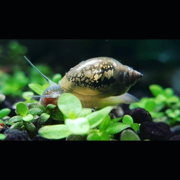 Physella acuta inside an aquarium
