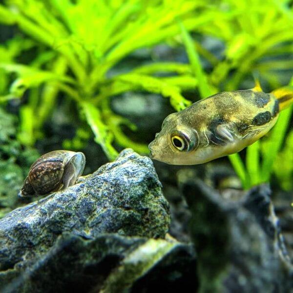 bladder snail with a pea puffer inside aquarium