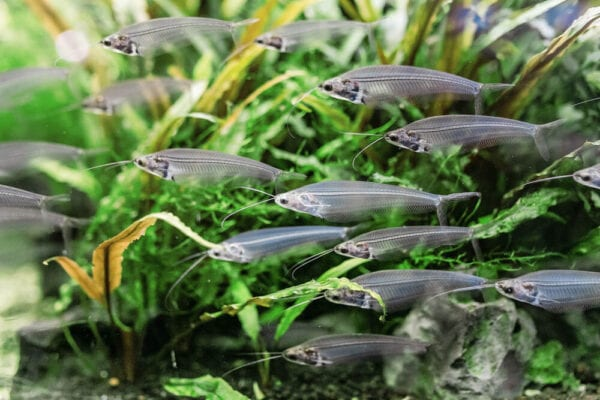 Photograph of fish swimming inside an aquarium with plants
