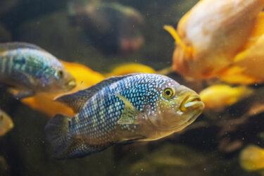 jack dempsey fish in tank