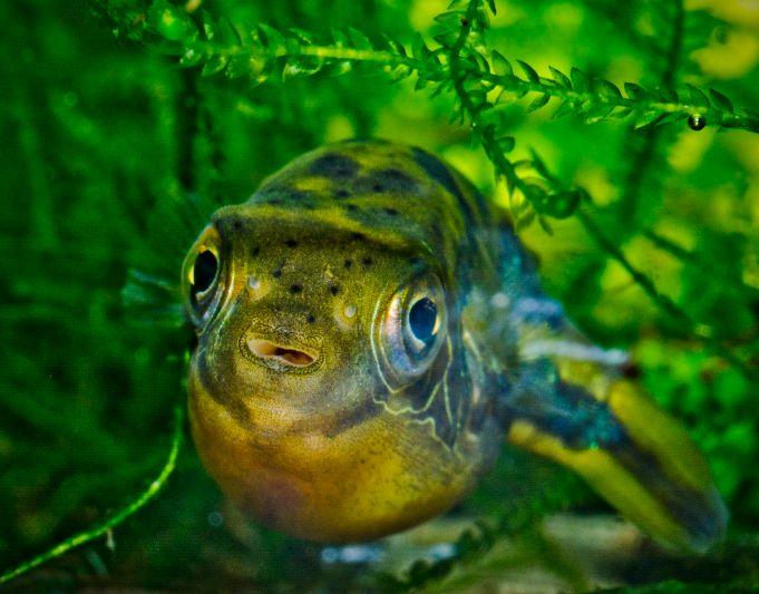 Dwarf Pufferfish up front