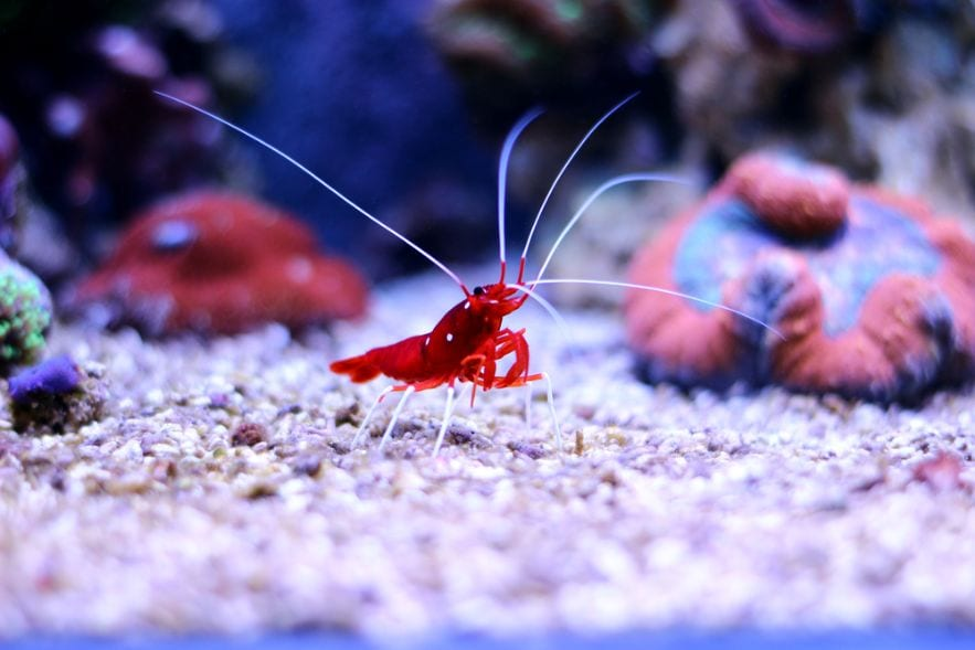 Red Cherry Shrimp on a tank substrate