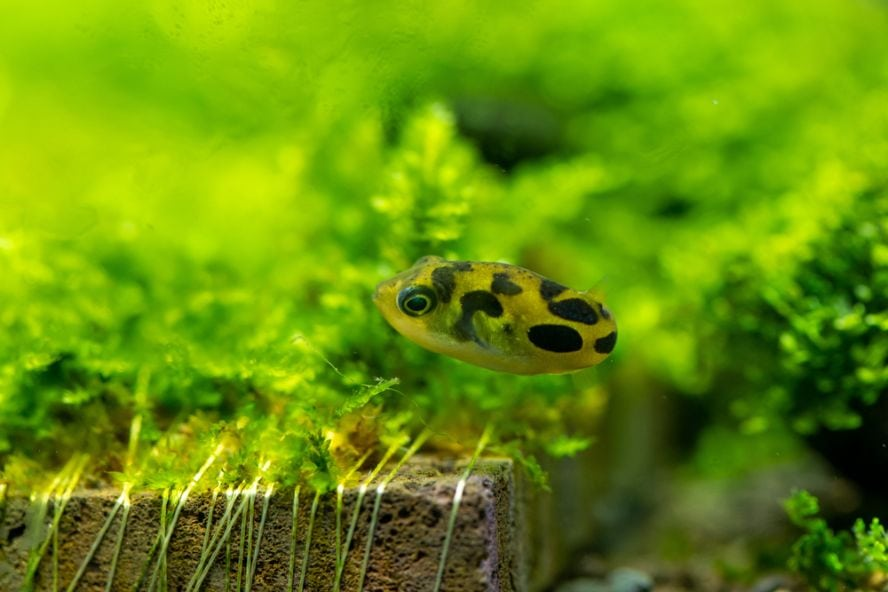 Pea puffer surrounded by tank plants