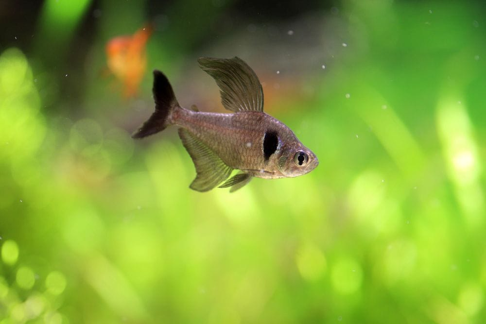Black Phantom Tetra in a tank with blurry tank plant background
