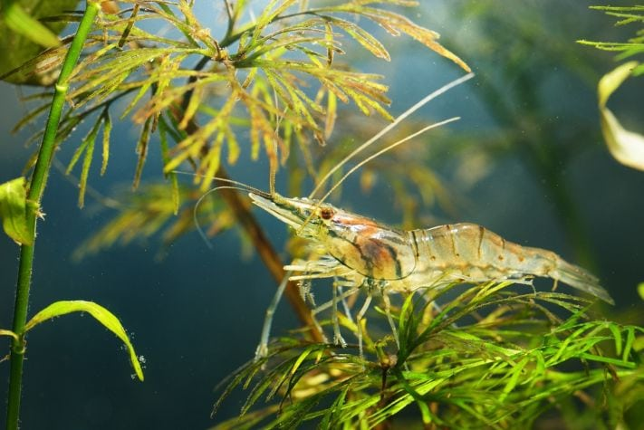 Shrimp in a tank surrounded by plants