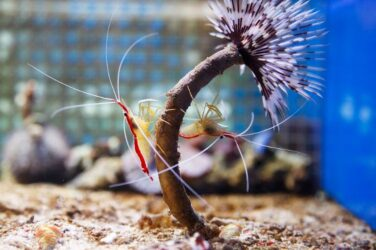 Two shrimps fasted into a branch of tank plant
