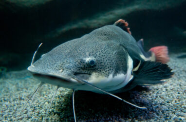 Phractocephalus hemioliopterus fish commonly known as redtail catfish
