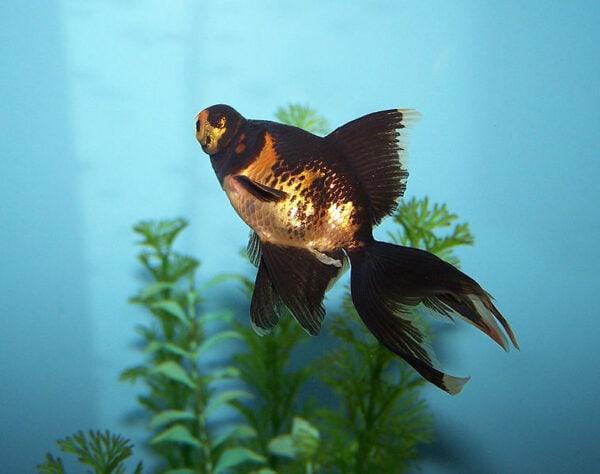 black moor goldfish