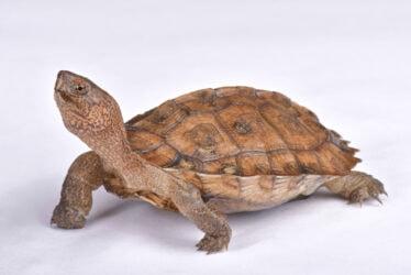 Giant Asian pond turtle, Heosemys grandis
