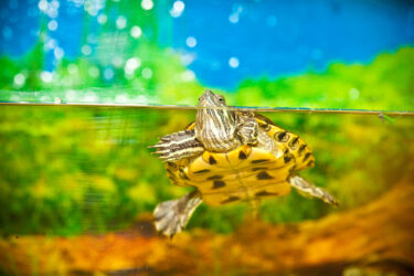 Red-eared slider swimming in the water in the aquarium.