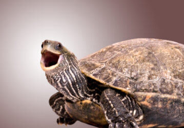 Turtle with open mouth