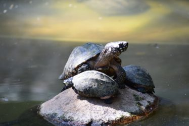 Can Turtles Live Without Water