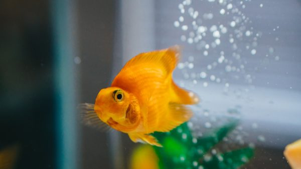 Care and Tank Setup - Fantail Gold Fish