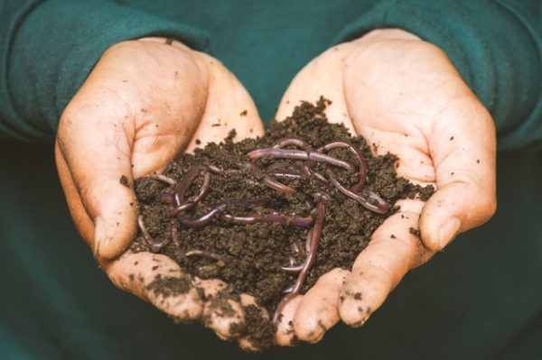 Pieces of earthworm